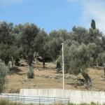 Stari Bar - olivové háje