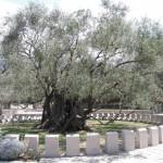 Stará maslina - dost starý strom