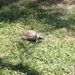 Stará maslina - želva