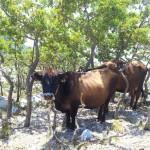 Biokovo krávy
